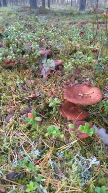 paddenstoel 8