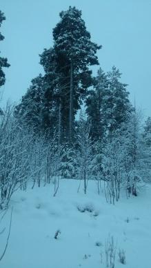 bomen en sneeuw